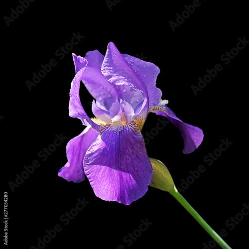 Photo sur Aluminium Iris Beautiful violet iris isolated on a black background