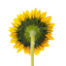 Close Up Back Side Of Yellow Blooming Sunflower Without Leafs. Isolated On White Background.