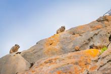 Rock Hyrax (Procavia Capensi) ...