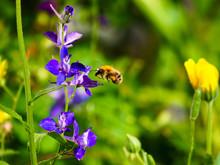 Honig Biene Fliegt Einen Ritte...