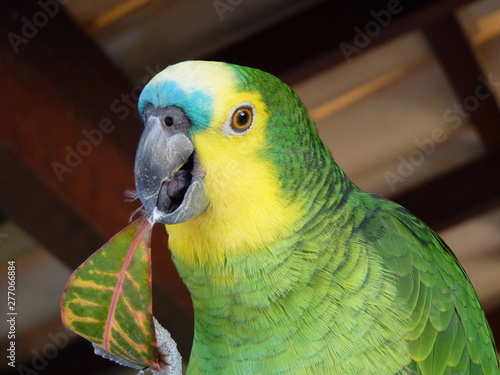 Garden Poster Parrot Amazona Aestiva (Papagaio-verdadeiro)
