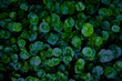 Green leaves background. Green leaves color tone dark in the morning. Tropical Plant,environment,photo concept nature and plant.