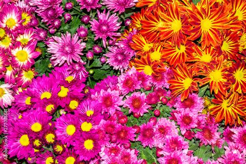 Foto auf AluDibond Rosa natural background.chrysanthemum flowers background.
