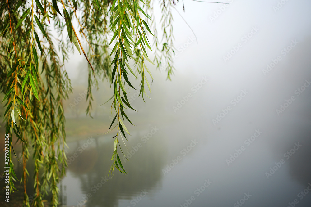 Fototapeta green lonely willow tree branch hangs over water of river or lake in foggy weather in autumn park...