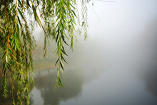 Green Lonely Willow Tree Branch Hangs Over Water Of River Or Lake In Foggy Weather In Autumn Park...