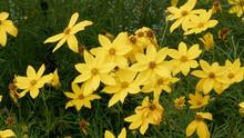 Coreopsis Verticillata - Whorled Coreopsis Or Whorled Tickseed