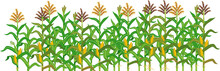 Agriculture Plant Border With Cornfield Isolated On White Background. Group Of Corn (maize) Plants With Green Leaves And Ripe Yellow Corn Ear