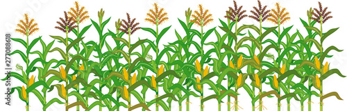 Foto Agriculture plant border with cornfield isolated on white background