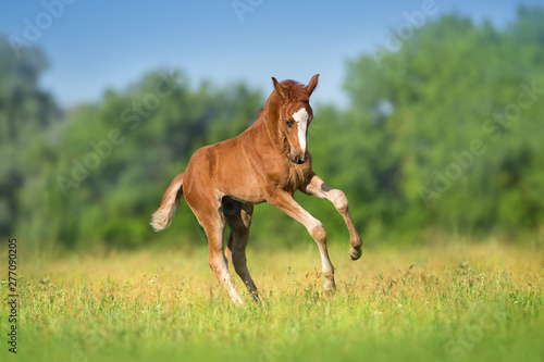 Red colt free run Canvas-taulu