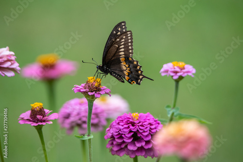 A black swallowtail butterfly with yellow and black coloring in a garden full of purple, pink, red, and orange zinnia flowers