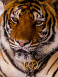 Tiger for photo with tourists in Nong Nooch Tropical Botanical Garden in Pattaya, Thailand