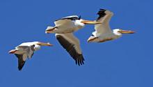 American White Pelicans In Fli...