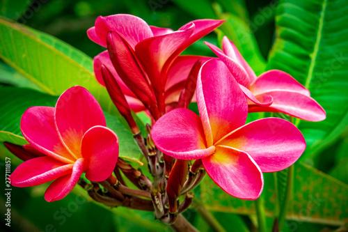 Keuken foto achterwand Frangipani Red Plumeria