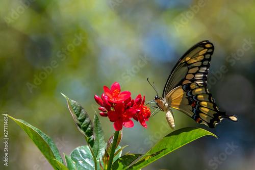 A swallowtail butterfly lands on a flower
