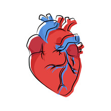 Human Heart Organ Illustration With Offset Contour