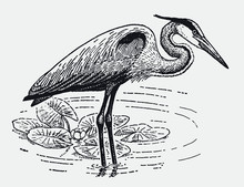 Great Blue Heron, Ardea Herodias Standing In A Pond With Water Lilies. Illustration After An Antique Engraving From The Early 20th Century