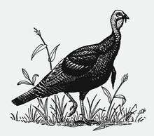 Male Wild Turkey, Meleagris Ga...