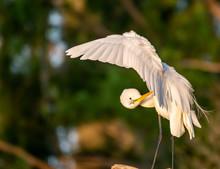 Great White Egret Preening Whi...