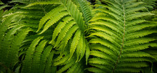 Tropical Fern Plant Growing In...