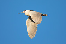 Black-crowned Night Heron Flying I , Seen In The Wild In North California