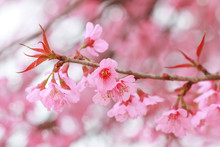 Soft Focus, Beautiful Wild Himalayan Cherry Blossom, Prunus Cerasoides In Thailand,