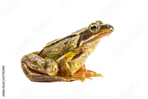 Photographie Common brown frog on white background