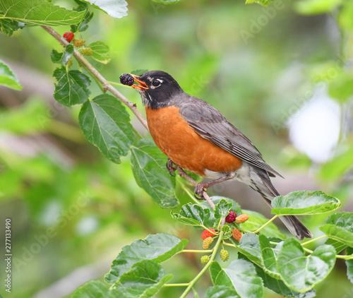 Fotografie, Tablou robin bird eating mulberry fruit on the tree
