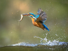 Common European Kingfisher Fly...