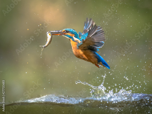 Foto Common European Kingfisher Flying with fish catch