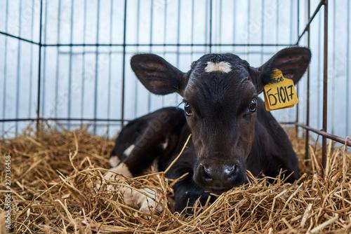 Valokuvatapetti young calves on the farm