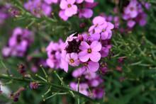 Purple Wallflower Erysimum Bol...