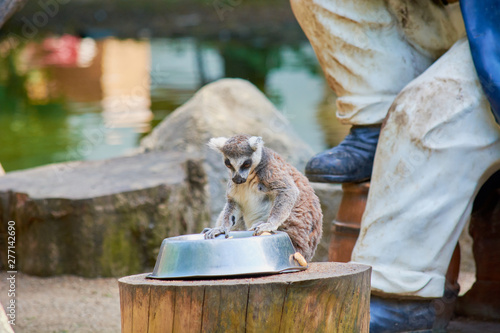 Photo  Young shaggy lemur eating from bowl at zoo.