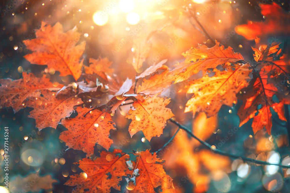 Fototapety, obrazy: Autumn colorful bright leaves swinging on an oak tree in autumnal park. Fall  background. Beautiful nature scene