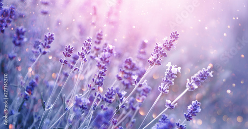 Lavender. Blooming fragrant lavender flowers on a field, closeup. Violet background of growing lavender swaying on wind. Aromatherapy