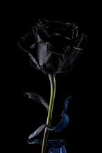 Black Rose On A Black Background
