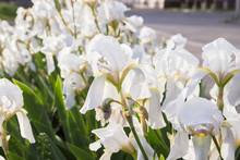 Blossoming White Iris In A Spr...