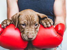 Young, Charming Puppy, Men's Hands And Red Boxing Gloves. Close-up, White Isolated Background. Studio Photo. Concept Of Care, Education, Training And Raising Of Animals
