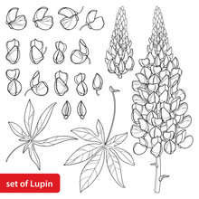 Set With Outline Lupin Or Lupi...