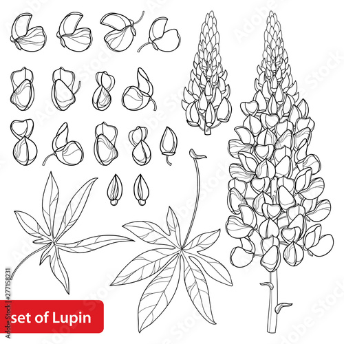 Set with outline Lupin or Lupine or Bluebonnet flower bunch, bud and ornate leaves in black isolated on white background Wallpaper Mural