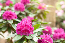 Rhododendron Flower In The Bot...