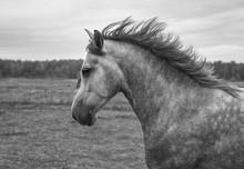 Strong Andalusian Horse Runnin...