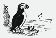 Group Of Threatened Atlantic Puffins Fratercula Arctica Sitting On A Rock Near The Sea. Illustration After A Historical Engraving From The Early 20th Century