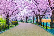 Walking Path Under The Beautiful Sakura Tree Or Cherry Tree Tunnel In Tokyo, Japan