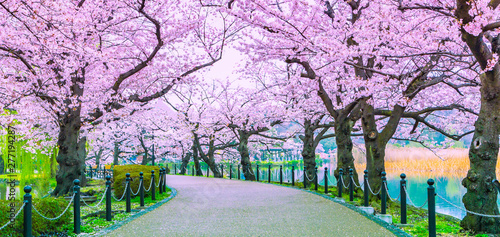 Poster Purple Walking path under the beautiful sakura tree or cherry tree tunnel in Tokyo, Japan