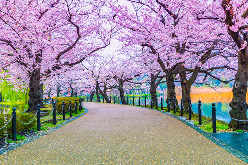 La pose en embrasure Fleur de cerisier Walking path under the beautiful sakura tree or cherry tree tunnel in Tokyo, Japan
