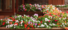 Blooming Impatiens Flowers On ...