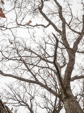 A View Looking Up At A Bare Old Oak Tree In Winter With Textured Bark And Branch Limbs With White And Gray Sky Beyond.