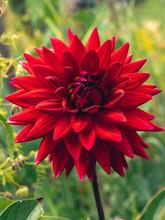 Dark Red Dahlia Flower Head