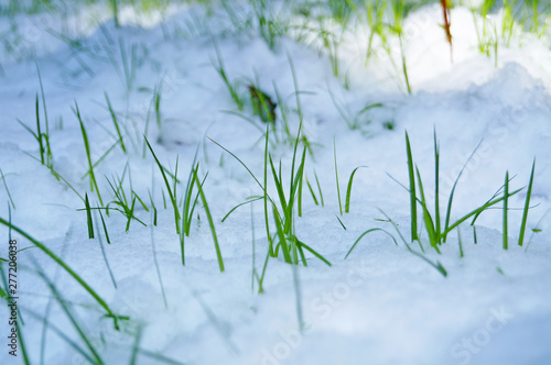Green juicy grass makes its way through a carpet of snow in a winter sunny day Tablou Canvas