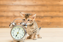 Retro Alarm Clock That Shows 7 O'clock And A Kitten Of The Bengal Breed